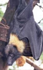 Mariana, frugt, bat, mariana, flyvende, ræven, fanihi, animal, pteropus, mariannus