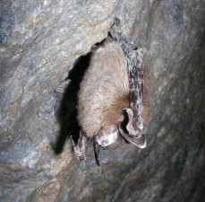 myotis, lucifugus, little, brown, bat