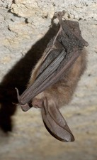 virginia, big, eared, bat, corynorhinus, townsendii