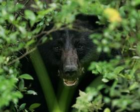 orso, cespugli, Ursus americanus