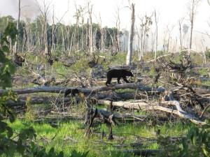 black bear, cub, travel