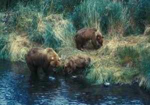 ours brun, truie, recherches, la nourriture, deux, yearlings