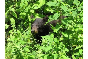 Americano, orso nero, cucciolo, erba, Ursus americanus