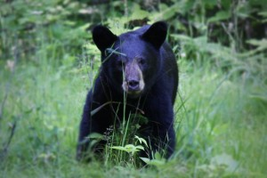 American, black bear, ursus Americanus