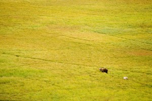 aerial, female, brown bear, cub, venturing, green, field