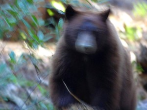 bear, attack, running