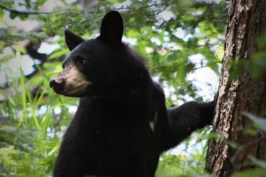 bear, black, ursus Americanus