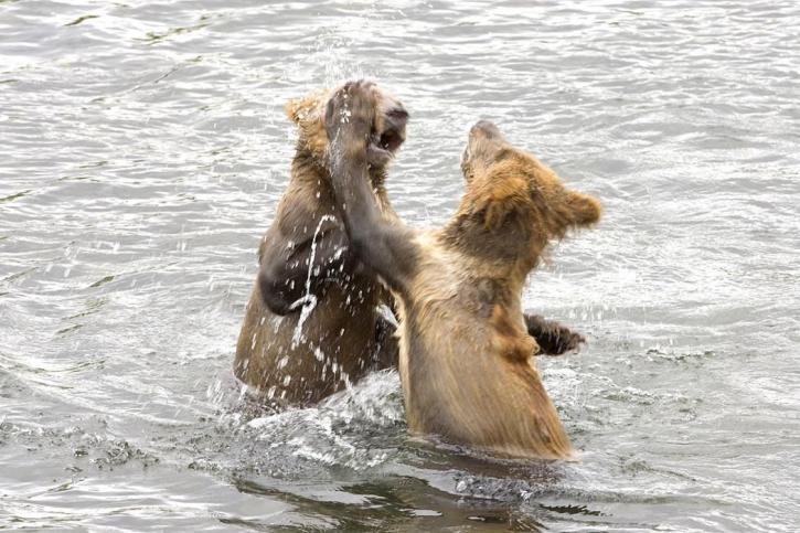 bear, cubs, play, water