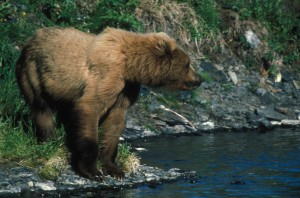 bear, banks, dog, salmon, creek