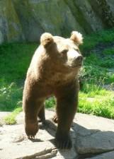 bear, rock, wild, animal