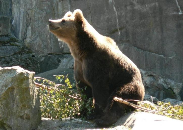 bear, sniffing, air, wild