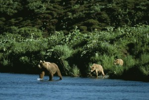 bear, sow, two, cubs, entering, river, ursus middendorffi