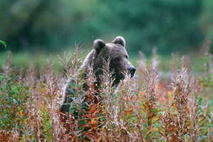 ours, debout, grand, herbes