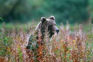 bear, standing, tall, grasses