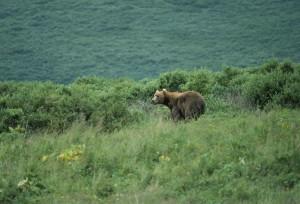 bear, standing, brush, hillside