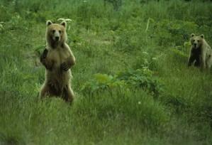 bear, standing, hind legs, looking, ursus middendorffi