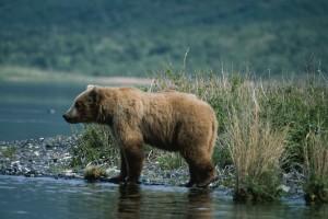 bear, standing, camera, shallows, water
