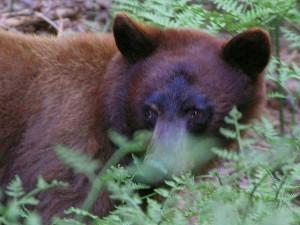 osos, helechos