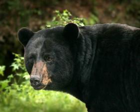 big, black bear, details, ursus Americanus