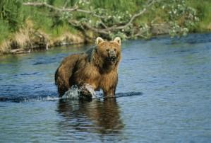stor, brun bjørnen, dyr, pattedyr, ursus middendorffi
