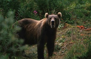 big, brown bear, ursus arctos