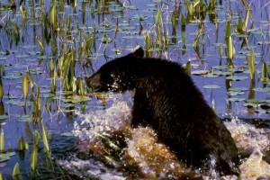 black bear, cub, water