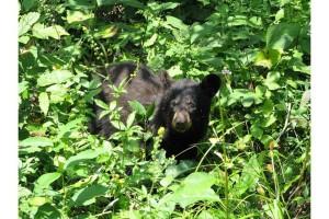 black bear, cub, ursus Americanus, forrest