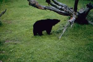 ours noir, danger, mammifère, espèce