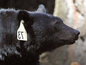 schwarzer Bär, Kopf