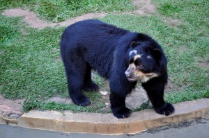 black bear, zoo