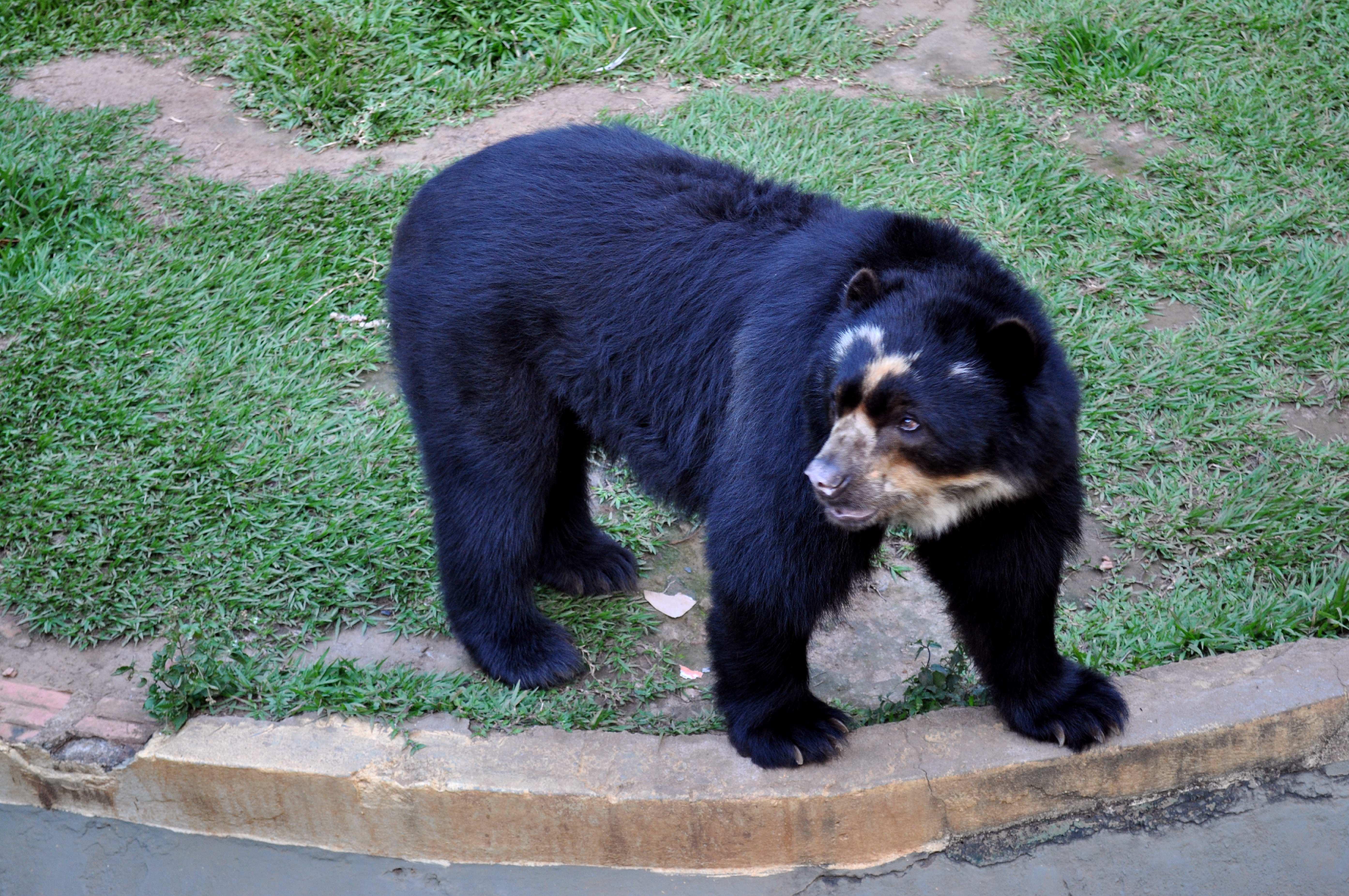 Free photograph; black, bear, zoo