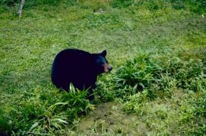 black bear, mammal, endangered, specie