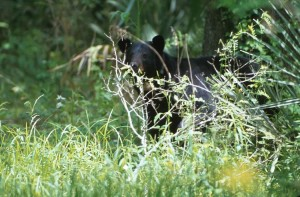 black bear, peering, branches