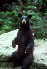 oso negro, sentado, roca