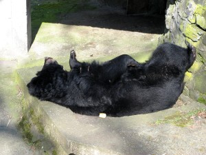 black bear, sleaping