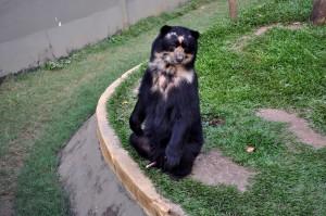 ours noir, debout, deux jambes
