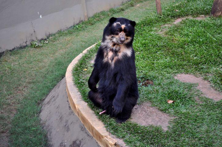 black, bear, standing, two, legs