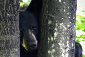 black bear, tree