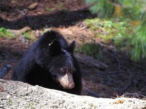osos negros, peludo