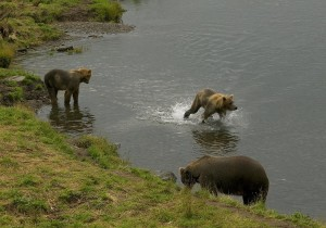 brown bear, two, cubs, stream