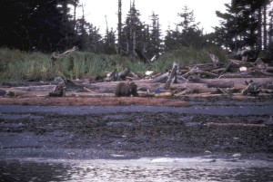 brown bear, Afognak, island, beach