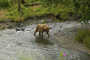 brown bear, river, edge