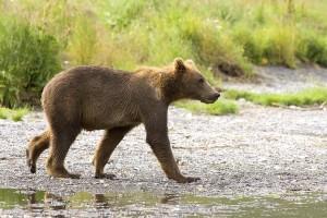 ours brun, petit animal, habitat naturel