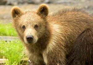 brown bear, cub, head