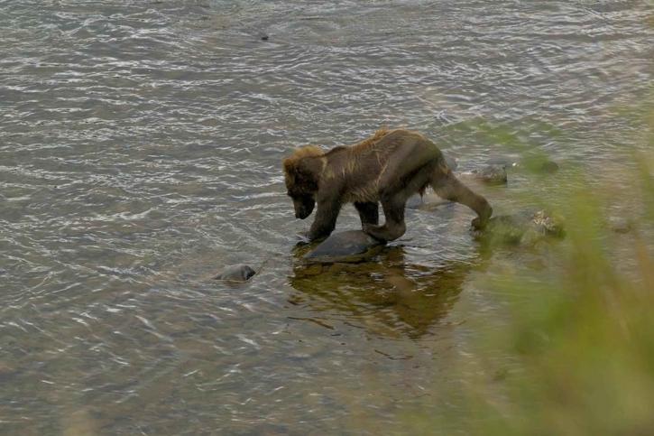 brown bear, cub, walking, water