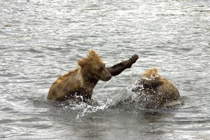 brown bear, cubs, water