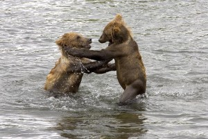 brown bear, cubs, picture