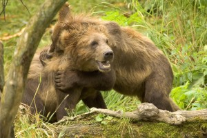 brown bear, cubs, play