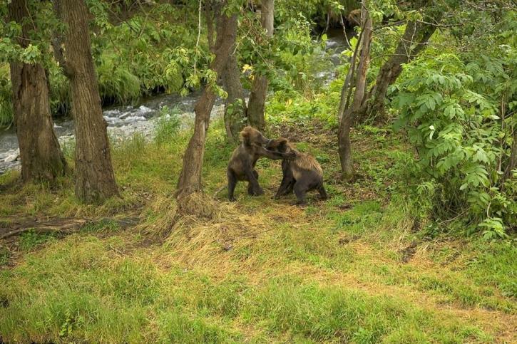 brown bear, cubs, play, river