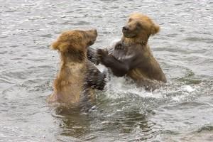 brown bear, cubs, play, water
